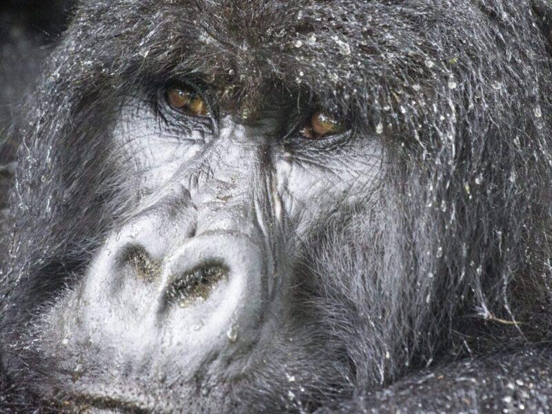 Gorilla di Montagna safari Uganda