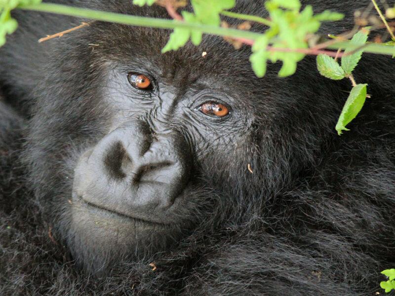 mamma gorilla safari Uganda