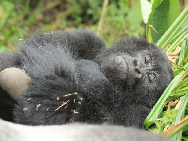 Gorilla safari Kabalega Uganda